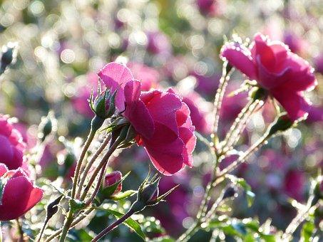 Rose, Bed Of Roses, Flowers, Pink, Bokeh, Morning