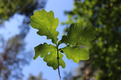 Eiche, Natur, Grün, Wald, Setzling, Nachwuchs, Nature