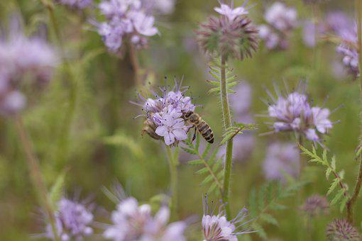 Phacelia, Bee, Summer, Flowers, Nectar, Honey, Insect