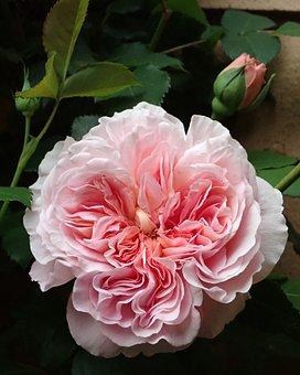 Flower, Pink, Rose, David Austin, Fragrant, Spring
