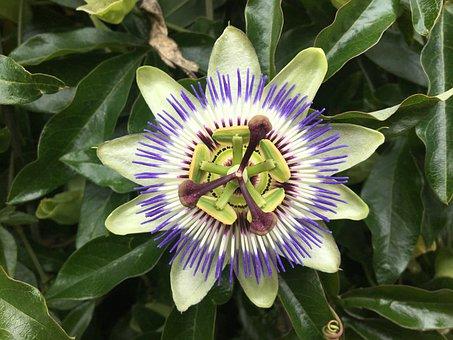 Passion Flower, Blossom, Bloom, Pistil, Colorful, Plant