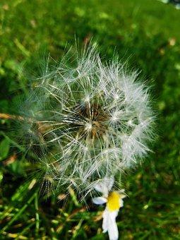 Dandelion, Flower, Nature, Plant, Structure, Landscape