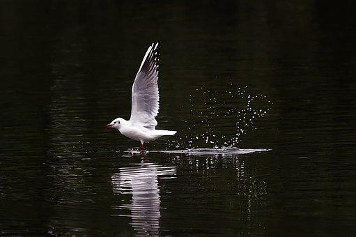 Seagull, Lake, Water, Bird, Flying, Plumage, Seevogel