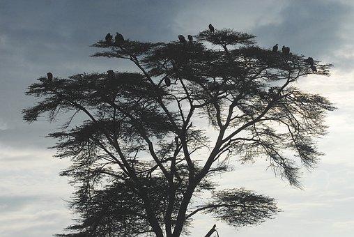 Vultures, Earth Hour, Scavengers, Kenya, Africa