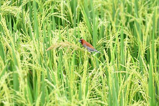 Ubud, Bali, Indonesia, Sparrow In Padi Field