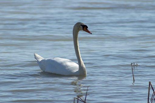 Swan, Cam, White, Wild Ducks, Teal, Water, Bird