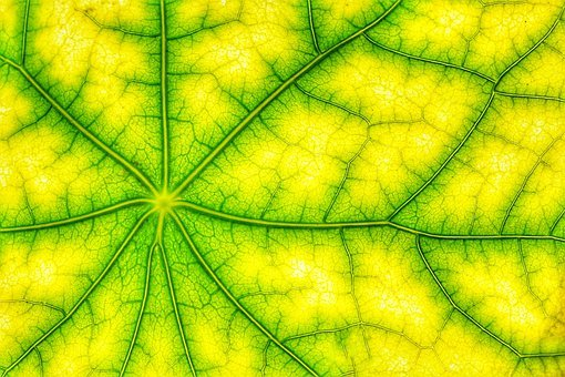 Photosynthesis, Leaf Green, Structure, Veins, Cells