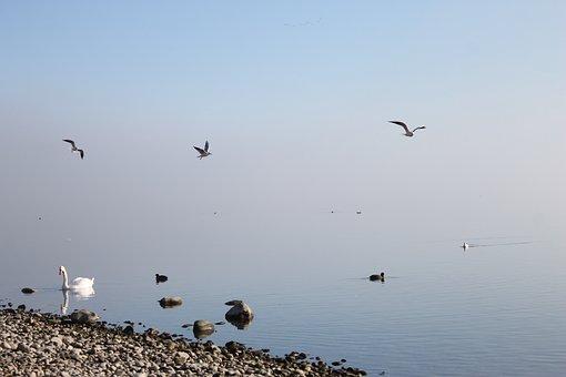Lake, Water, Bird, Swan, Nature, Lake Constance, Blue