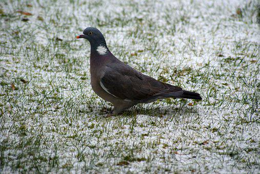 Dove, Winter, Nature, Snow, Bird, Animal World