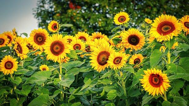 Sunflower, Autumn, Field, Yellow, Nature, Flower