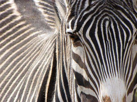 Zebra, Animal, Striped, Black And White, Mammal, Zoo