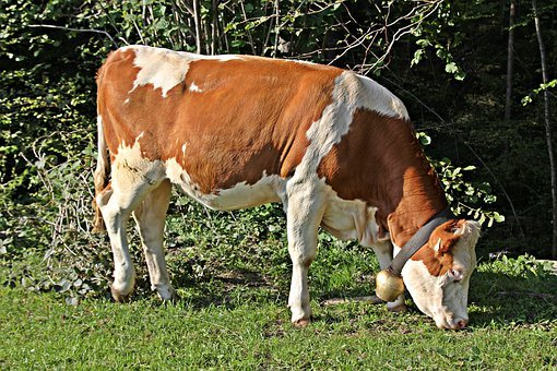 Cow, Beef, Calf, Agriculture, Cattle, Animal, Farm