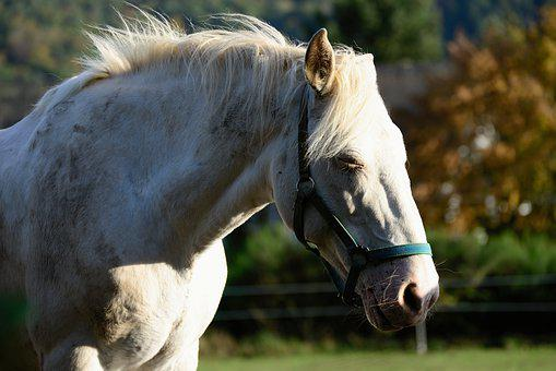 Horse, White Horse, Mold, Mane, Horse Head, Animal