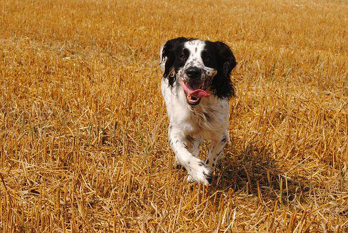 Hunting, Dog, Spaniel, Outdoor, Cute, Animals, Young