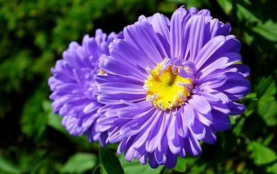 Astra, Flowers, Blue, Garden, Beautiful, Autumn