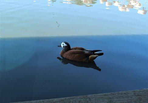 Bird, Duck, Nature, Plumage, Bill, Water Bird, Feather