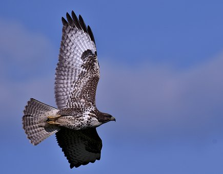Common Buzzard, Bird Of Prey, Plumage, Wings, Hunter
