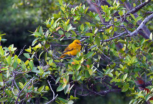 Golden Oriole Juvenile, Wild, Bird, Wildlife, Outdoor