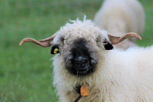 Black Nosed Sheep, Wool, Graze, Meadow, Nature, Horns