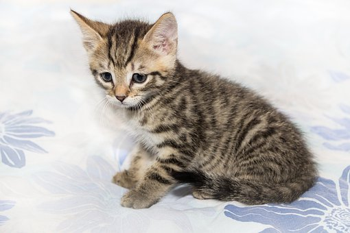 Cat, Small, Mackerel, Kitten, Domestic Cat, Pet, Cute