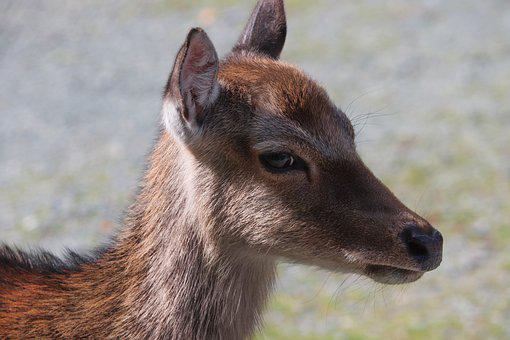 Roe Deer, Young, Portrait, Head, Face, Close Up, Fawn
