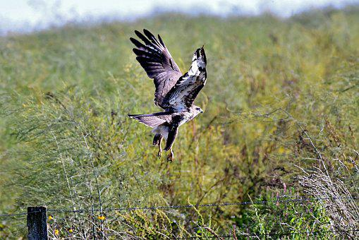 Common Buzzard, Bird Of Prey, Wings, Plumage, Hunter