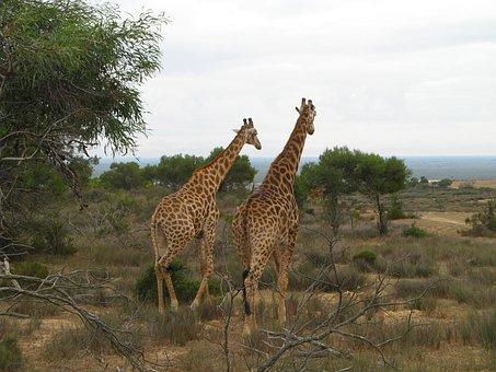 Animal, Giraffe, Couple, Cape Town, Journey, Zoo