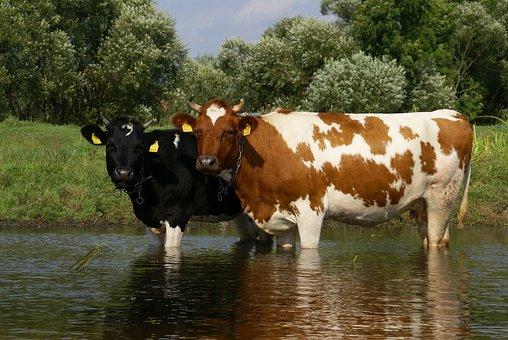 Cows, River, Pisa, Cattle, Nature, Landscape, Milk