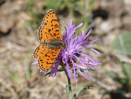 Butterfly, Damer Of The Centàurea, Melitaea Phoebe