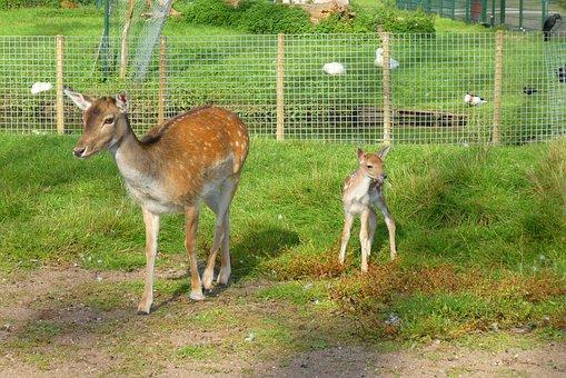Damhertje, A Young Deer, Babyhert, Petting, Deer