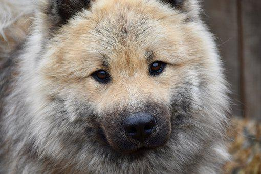 Dog, Dog Eurasier, Dog Pure Breed, Dog Olaf-blue