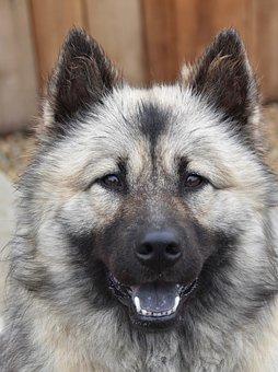 Dog, Dog Eurasier, Dog Pure Breed, Bitch Christmas-blue