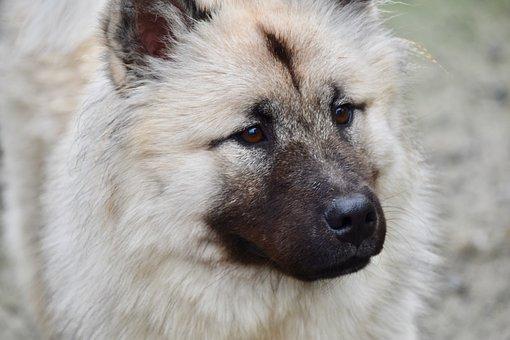 Dog, Dog Eurasier, Dog Pure Breed, Bitch Patchouline