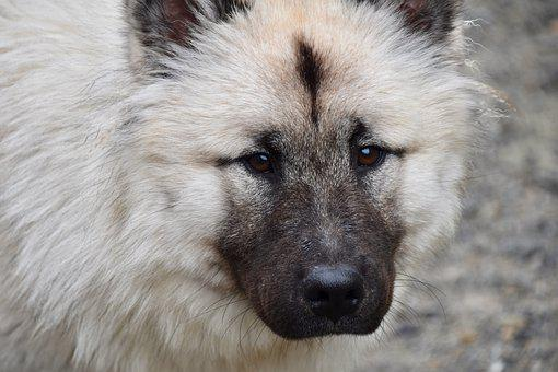 Dog, Dog Eurasier, Dog Pure Breed, Bitch Patchouline