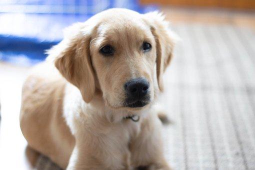 Golden Retriever, Dog, Puppy, Cute, Pet, Young