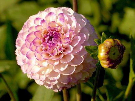 Dahlia, Flower, Bloom, Nature, Flower Garden, Garden