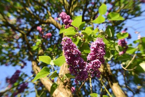 Lilac, Flower, Flowers, Plant, Purple, Garden, Nature