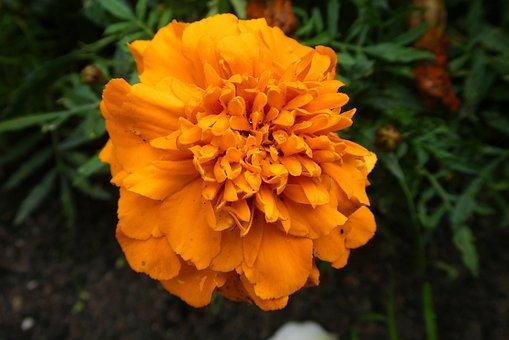 Tagetes, Flower, Bloom, Orange, Blossom, Nature, Garden