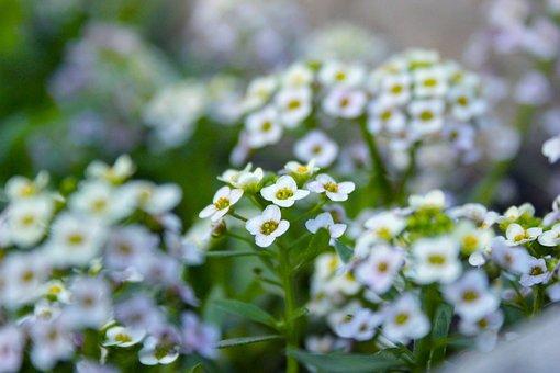 Flowers, Chamomile, Macrophoto, Macro, Nature, Bloom