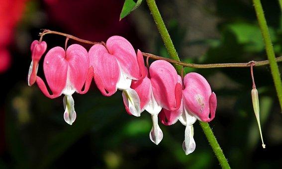 Hearts, Flowers, Pink, Nature, Garden, Closeup
