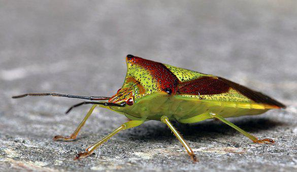 Birch Shieldbug, Insect, Summer, Close, Animal, Garden