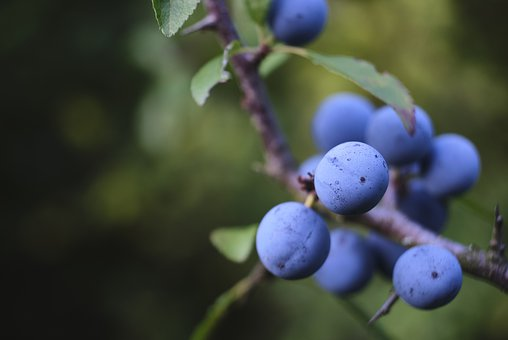 Schlehe, Blackthorn, Heckendorn, Blue, Bush, Fruit