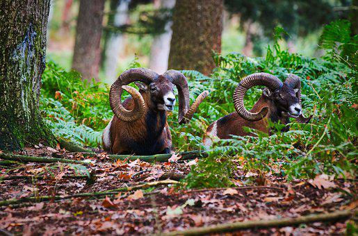 Mouflon, Horn, Horns, Wild Animal, Horned, Imposing