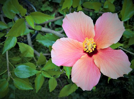 Hibiscus, Blossom, Bloom, Marshmallow, Mallow
