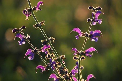 Meadow Sage, Plant, Violet, Nature, Outdoor