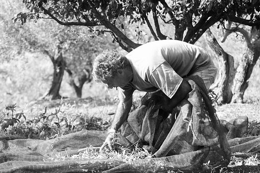 Olives, Collection, Company, Agriculture, Mediterranean