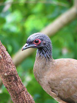 Chachalaca, Bird, Mexico, Wildlife, Birding