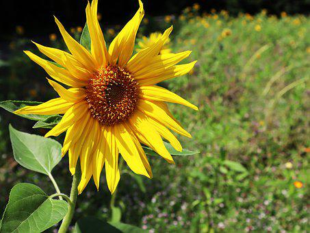Sunflower, Sun, Yellow, Autumn, Nature, Blossom, Bloom