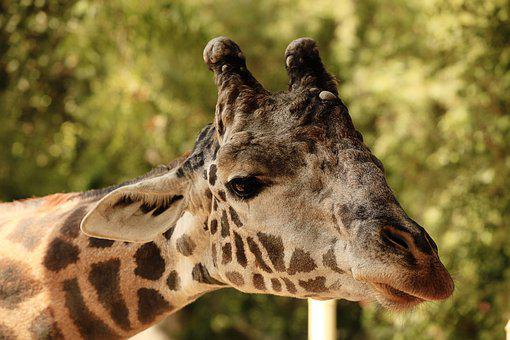 Zoo, Giraffe, Animal, Wildlife, Nature, Neck, Spots