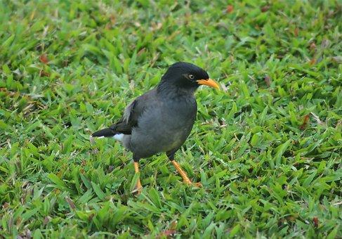 Javan Myna, Outdoor, Wild, Bird, Wildlife, Natural